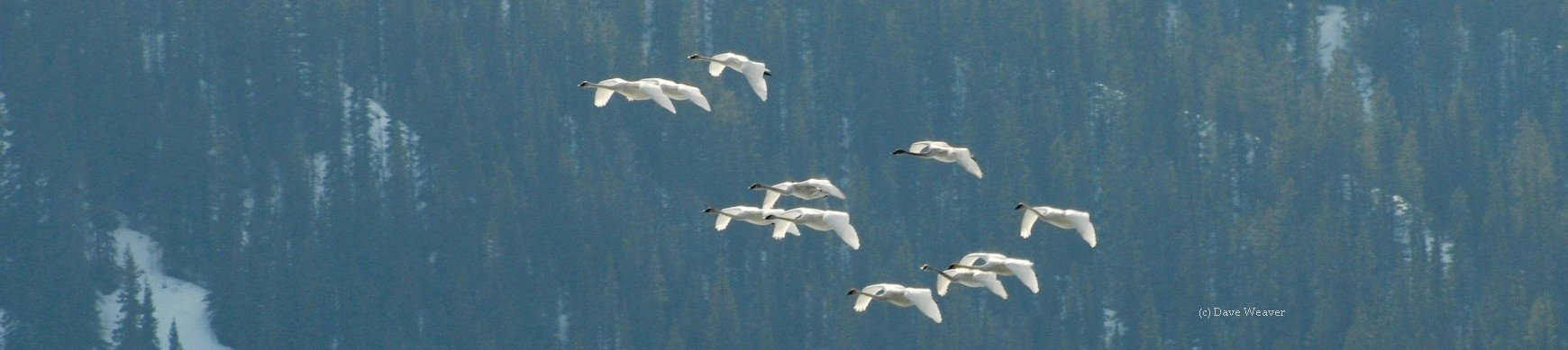 The Trumpeter Swan Society has links to information about Canadian Trumpeter Swans