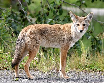 Urban Coyotes Program & free hot dogs