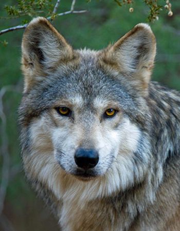 M943 Brio Mexican gray wolf by Robin Silver Southwest Wildlife