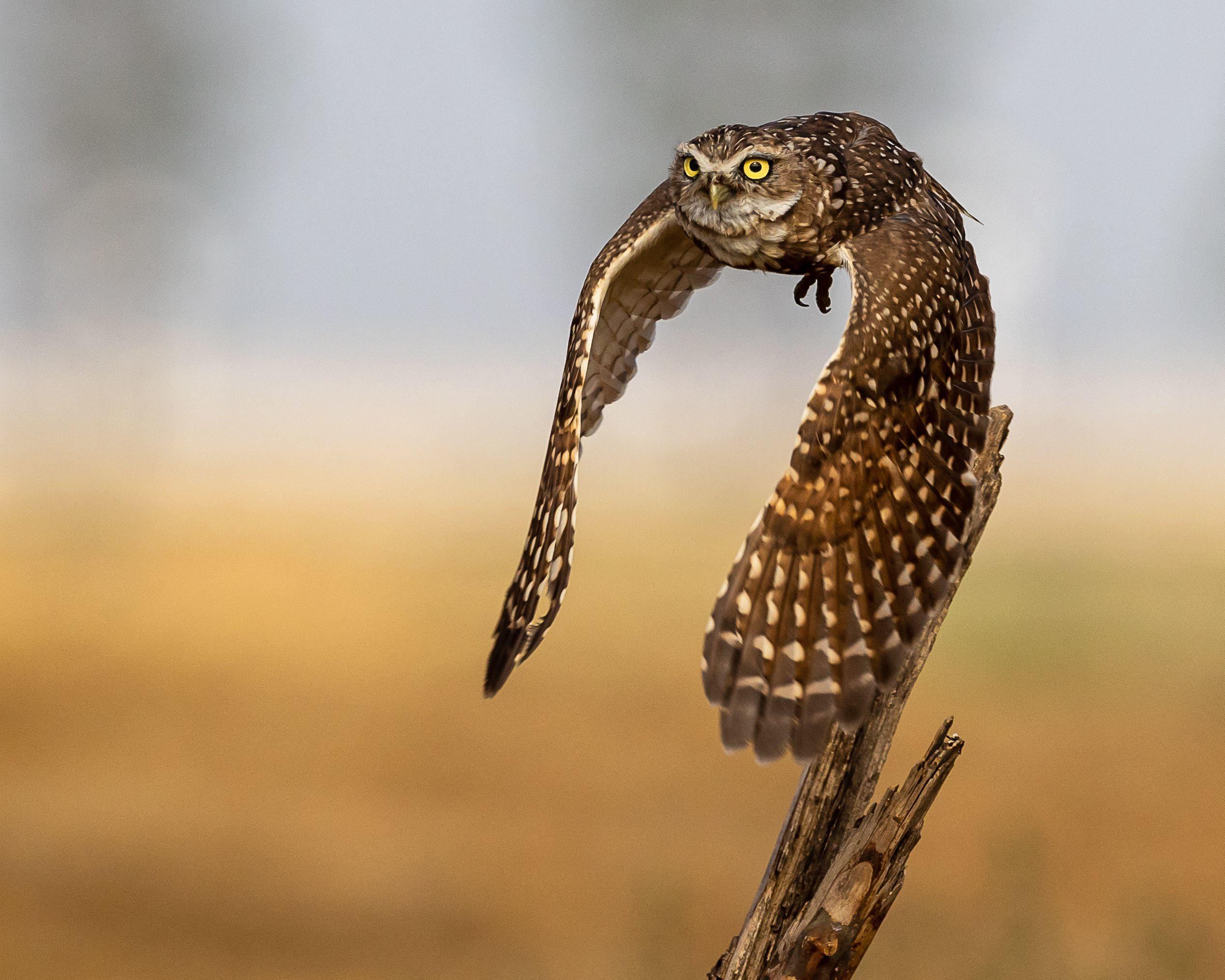 Burrowing Owl by Tammy Kokjohn.