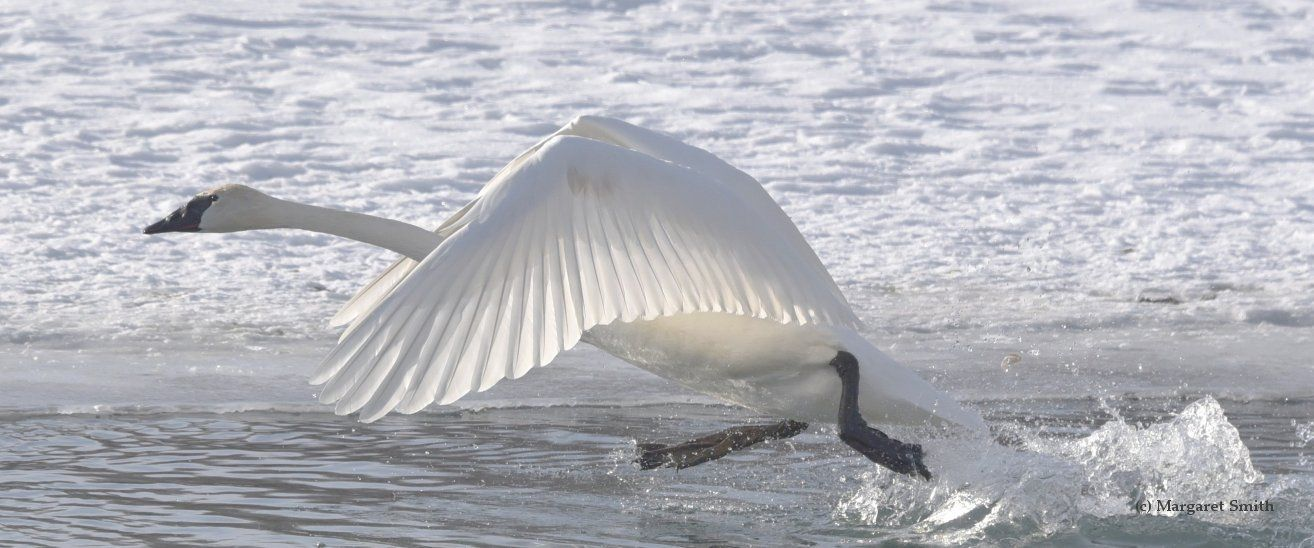 The Trumpeter Swan Society has expert swan knowledge. Check out how our donors are helping to learn new science-based information about Trumpeter Swans. Check out our decades worth of swan information shared in our Swan Conferences