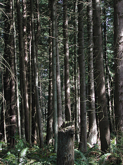Early stages in development of old-growth forest in our region