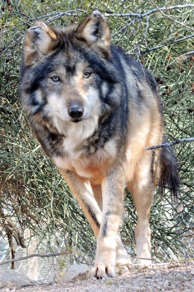M887 Vermillion Mexican Gray Wolf Southwest Wildlife Scottsdale Arizona