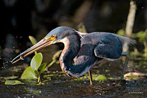 Tricolored Heron (nonbreeding plumage)