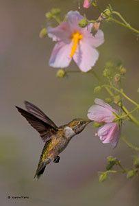 Ruby-throated Hummingbird immature male on saltmarsh mallow