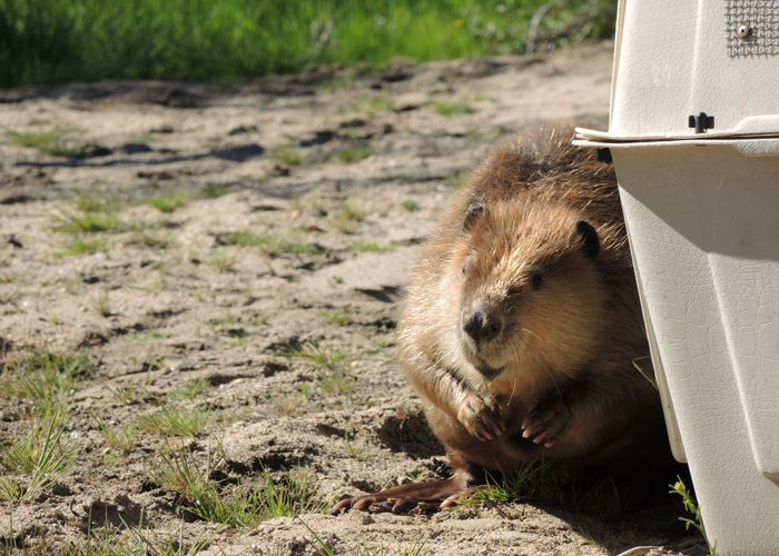 Beaver from Tempe Town Lake Released