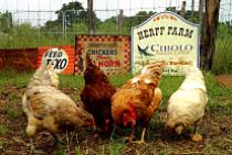 Virtual Workshop: Backyard Chickens