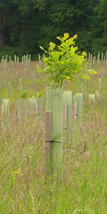 4' Tree tube and wood stake
