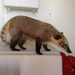 Meet Bindi the Coati