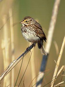 Beak of the Week: Savannah Sparrow