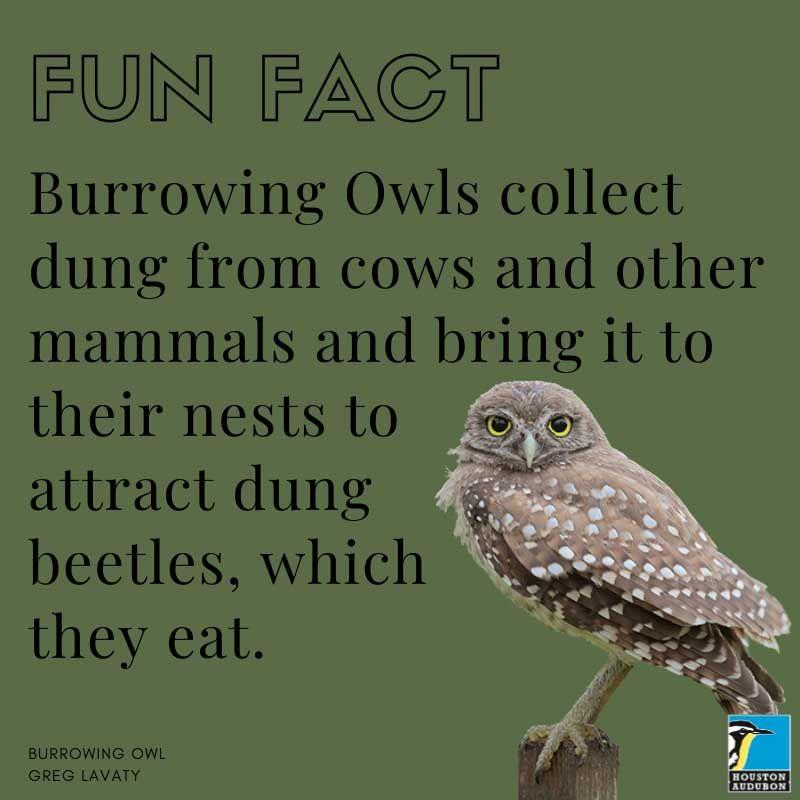 Burrowing Owl fun fact