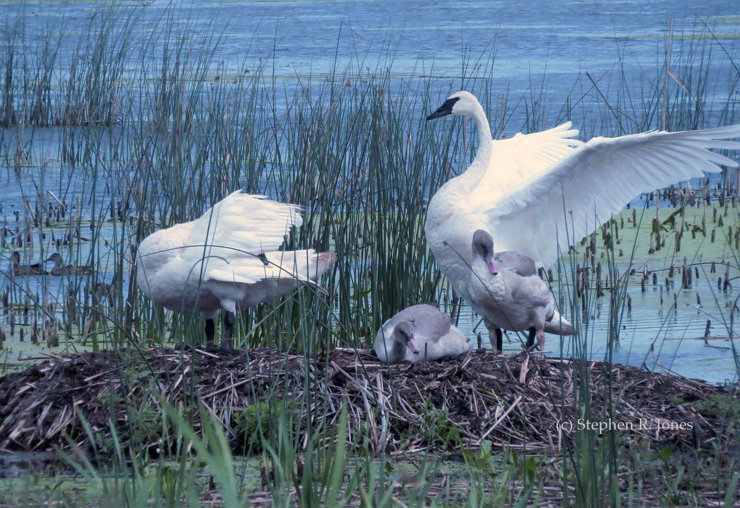 Nebraska Sandhills Swan Breeding project