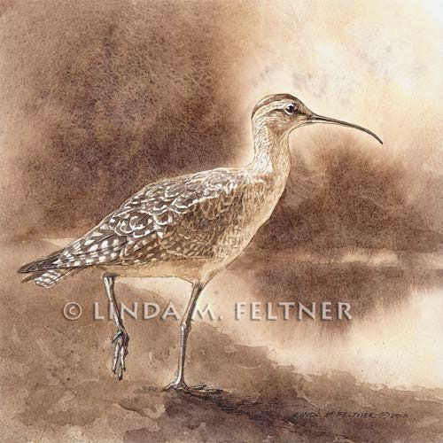 Eskimo Curlew–Gone But Not Forgotten