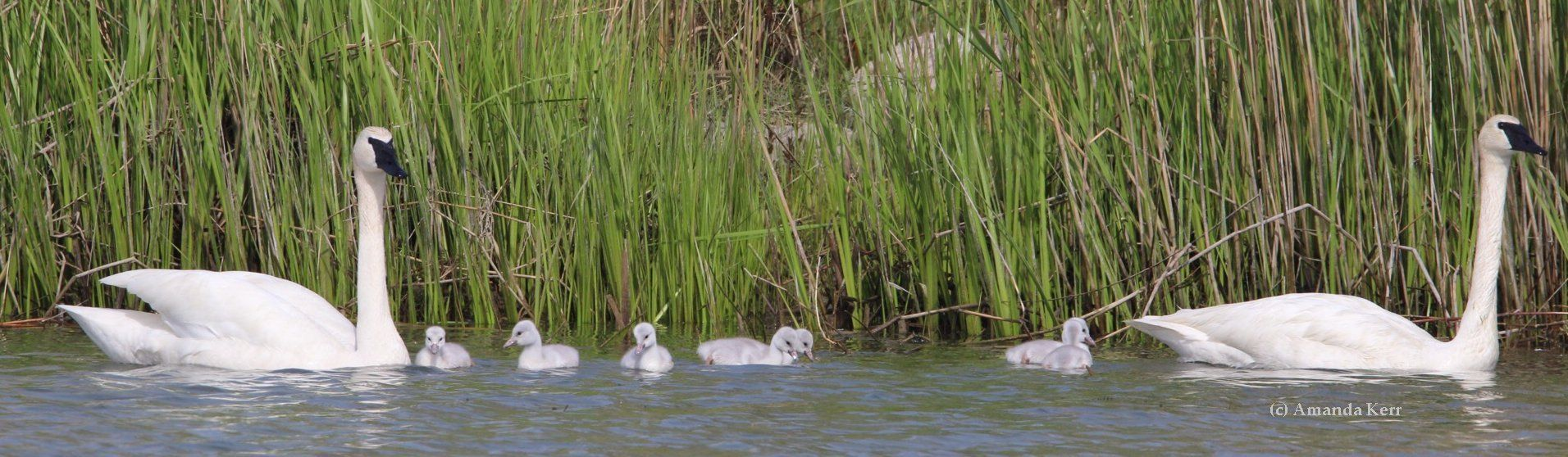 Learn how to tell the difference between cygnets of Trumpeter, Tundra and Mute Swans