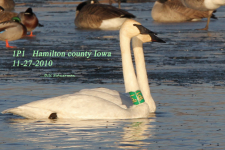 THIRD WINTER RELEASE OF TRUMPETER SWANS IN ARKANSAS
