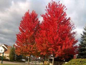 """Red Maple - Pack of 25 Seedlings (6""""-12"""")"""