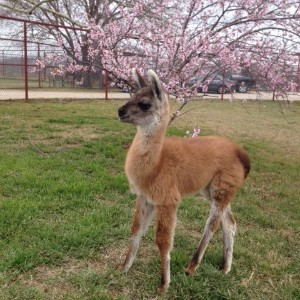 CARE Welcomes Dahlia the Llama