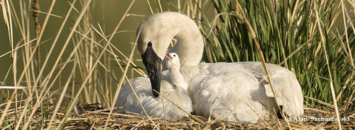 The Trumpeter Swan Society works across North America on Trumpeter Swan issues, restoration and management. We are the only non profit organization to work across North America on swan issues. In 2018, we celebrate 50 years of assuring the vitality and we