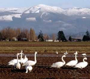 The Pacific Northwest has the largest population of wintering Trumpeter Swans.  Swans are facing a critical shortage of wintering habitat