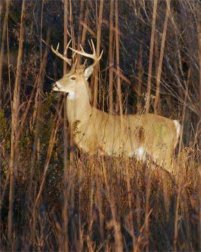 Ask a naturalist: Deer antlers, squirrel nuts, shrew sustenance & bobcat comeback