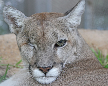Despite the loss of an eye, Cascabel the mountain lion, has a good life here at the sanctuary.