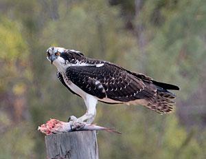 Beak of the Week: Osprey