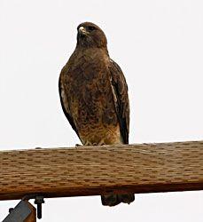 Swainson's Hawk (dark morph)