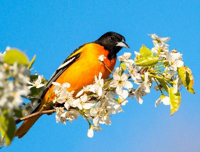Audubon Society of Rhode Island Birding Birdwatching Bird watching Spring Bird Migration