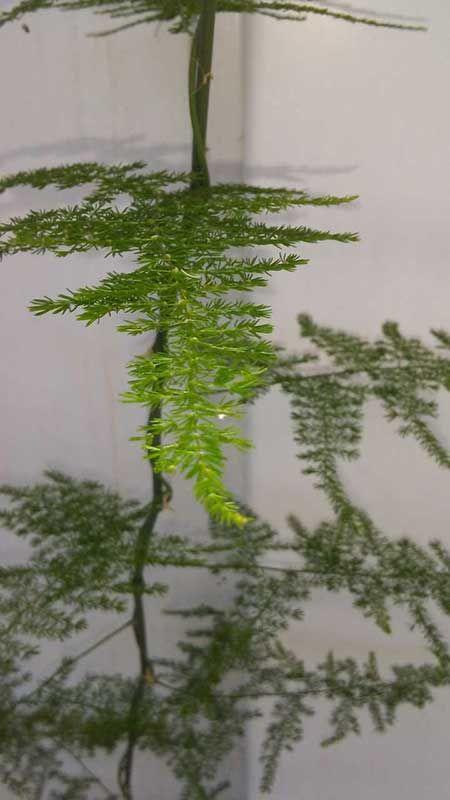 Fern leaf plumosa