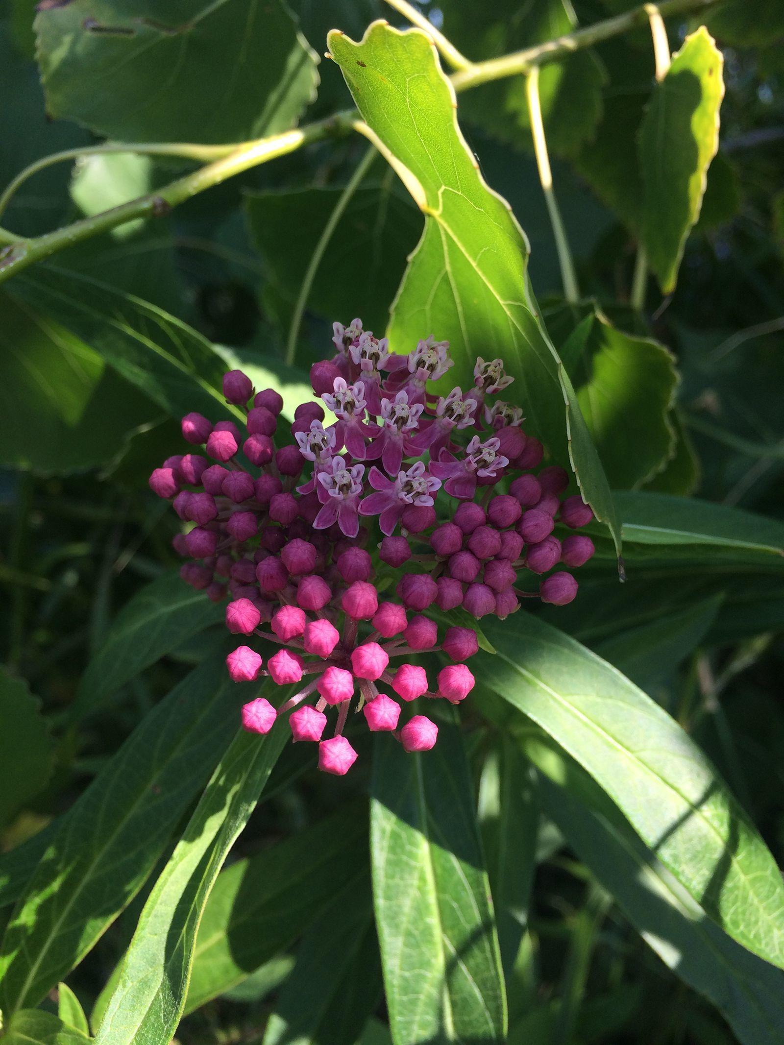 Rosy Milkweed, Asclepias incarnata