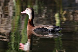 Black-bellied Whistling-Duck (adult)