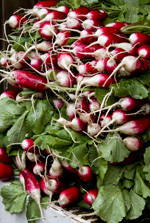 Radishes - red & white