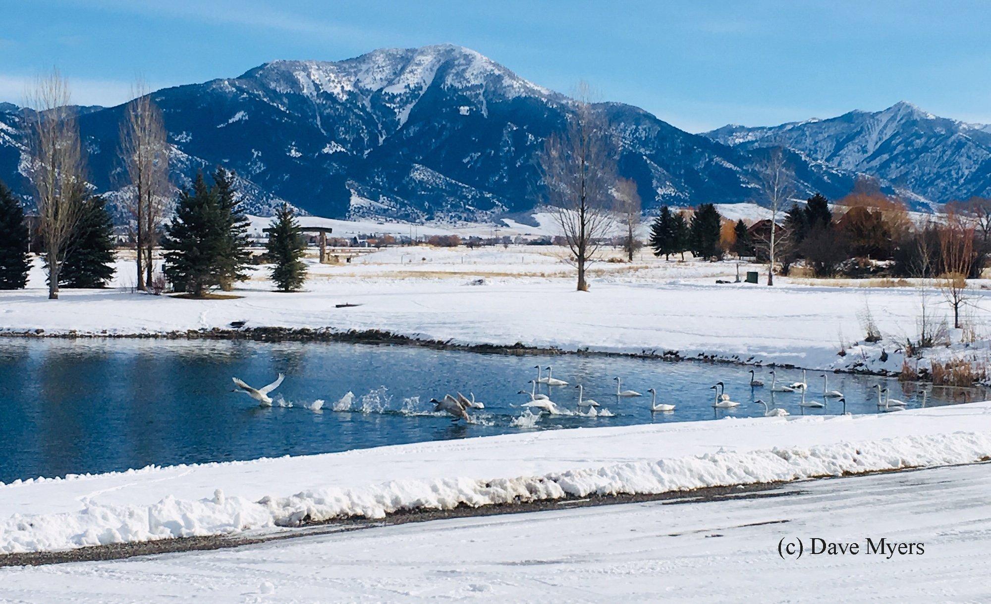 Swans in Swan Valley, Idaho
