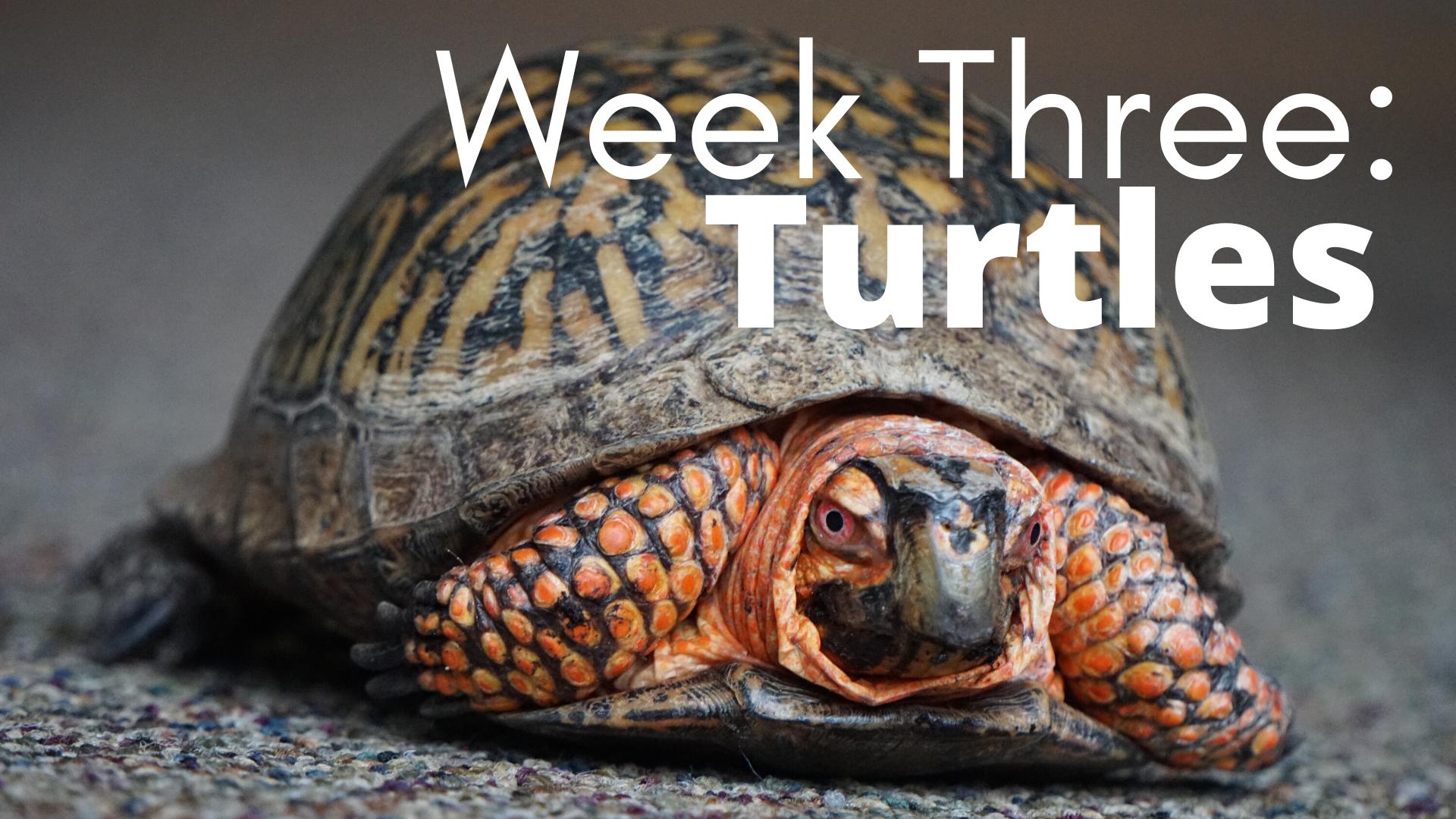 Week Three: Turtles
