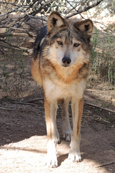 F880 Tala Mexican Gray Wolf Southwest Wildlife Scottsdale Arizona