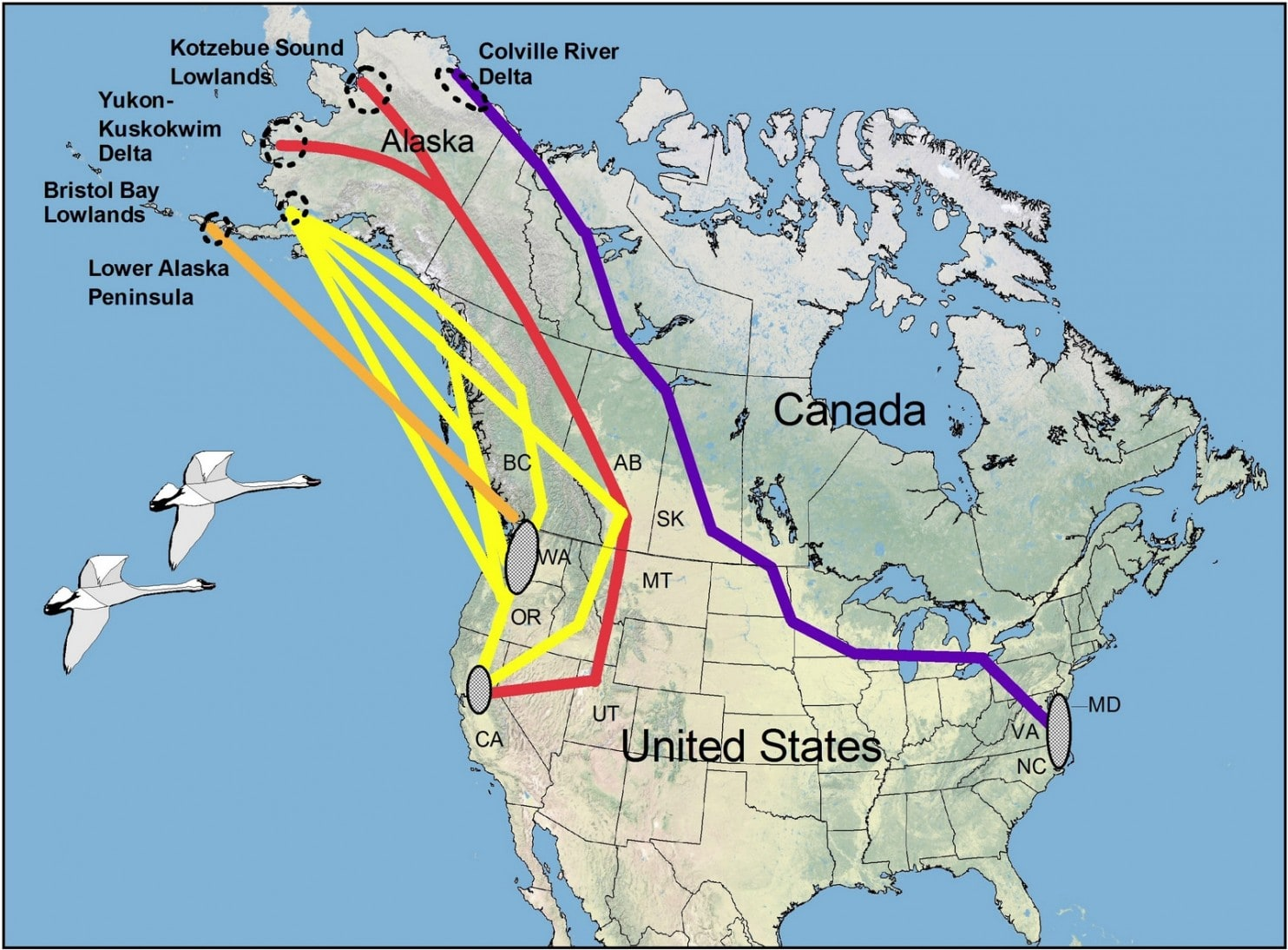 Tundra Swan- North American migration routes