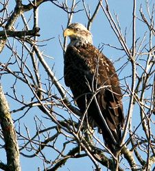 Bald Eagle (sub-adult)