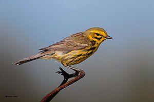 Beak of the Week: Prairie Warbler
