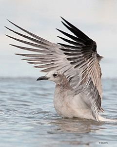 Laughing Gull (adult, winter plumage)