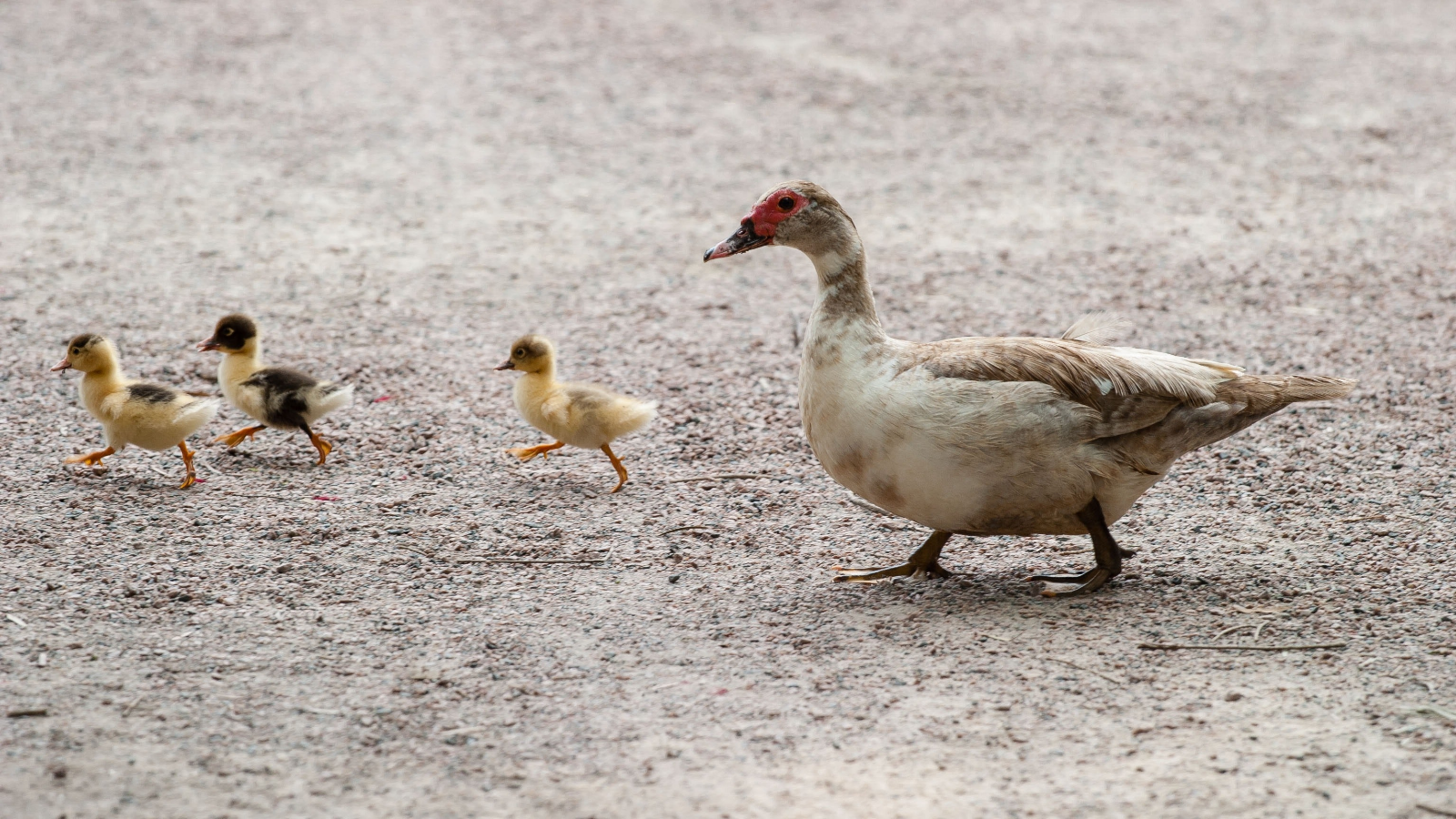 Mother duck follows her three baby ducks