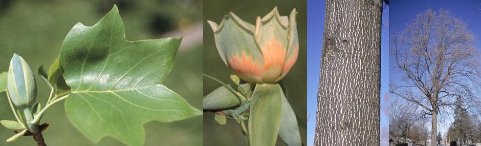 """Tuliptree - Pack of 5 Seedlings (12""""-18"""")"""