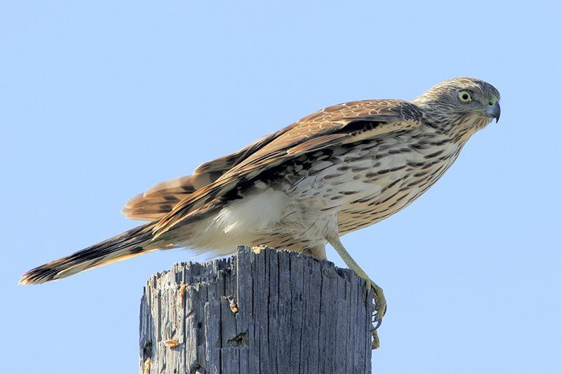 Sharp-shinned Hawk (immature)