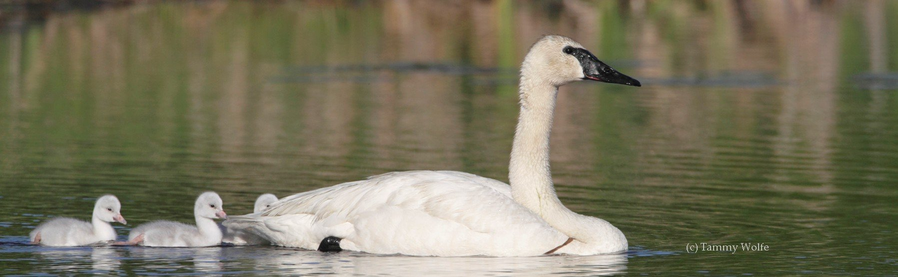 Gfits in your will to TTSS will make sure future generations will know and see the beauty of Trumpeter Swans