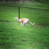 How fast are Greyhounds?
