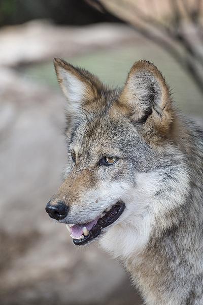 F891 Mexican Gray Wolf Southwest Wildlife Scottsdale Arizona