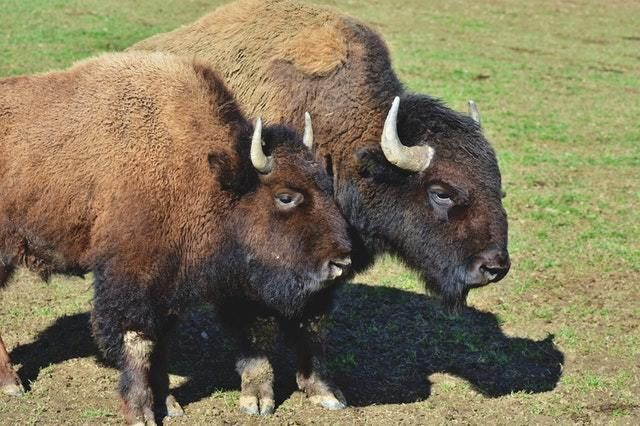 Photo of two bison