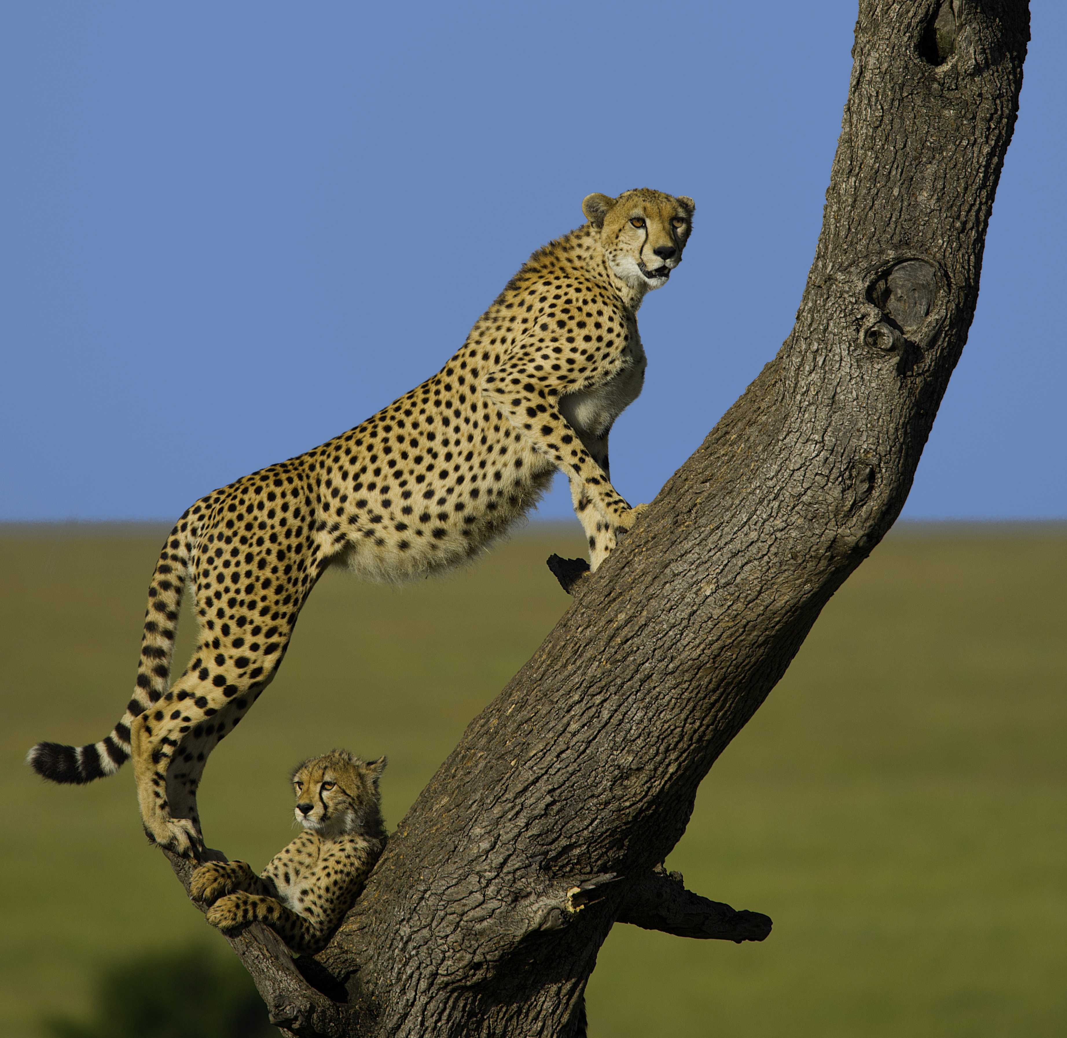 Cheetah with Cub on the Watch for Prey