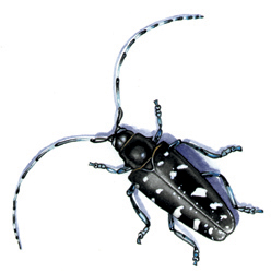 Audubon Society of Rhode Island Invasive Asian Longhorned Beetle