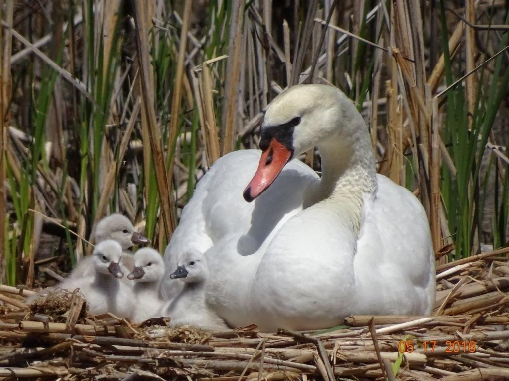 Mute swan cygnets have black bills that will eventually turn orange at maturity