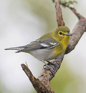 Beak of the Week: Yellow-throated Vireo